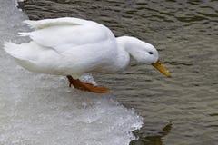 美国人Pekin鸭子(语录platyrhynchos domestica) 免版税库存图片