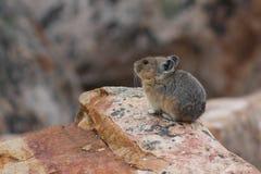 美国人Pika -贾斯珀国家公园 免版税库存图片