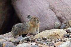 美国人Pika -贾斯珀国家公园 库存照片
