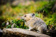 美国人Pika (第一公民的鼠兔属) 免版税图库摄影