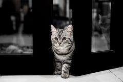 美国人Shorthair小的猫 免版税图库摄影