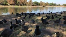 美国傻子鸟群在湖旁边的 股票视频
