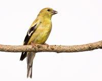 美国分行女性金翅雀栖息处 免版税库存图片