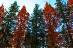 美国加州红杉和水杉行  免版税库存照片