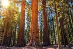 美国加州红杉对人 免版税库存图片