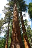 美国加州红杉树在优胜美地国家公园 库存照片