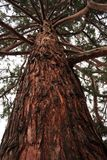 美国加州红杉树干 免版税图库摄影