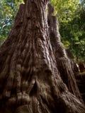 美国加州红杉树,森林的父亲 库存图片