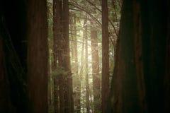 美国加州红杉线索 免版税库存照片