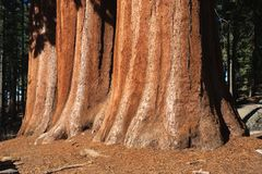 美国加州红杉结构树 免版税库存照片