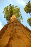 美国加州红杉结构树 库存照片
