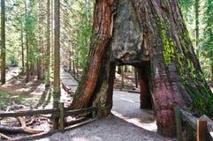 美国加州红杉隧道 免版税库存照片