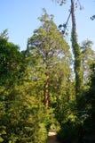 美国加州红杉,索尔沃什,匈牙利 图库摄影