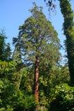 美国加州红杉,索尔沃什,匈牙利 库存照片