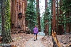美国加州红杉 免版税库存照片