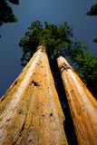 美国加州红杉 库存图片