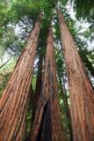 美国加州红杉 免版税图库摄影