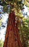 美国加州红杉 库存照片