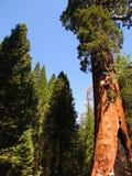 美国加州红杉 免版税库存图片