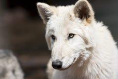 美国北部狼 免版税库存照片