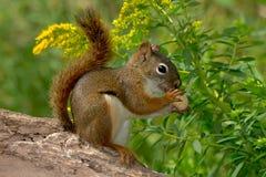 美国北部红松鼠 图库摄影