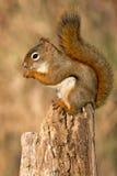 美国北部红松鼠 免版税库存图片