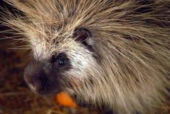 美国北部豪猪 免版税库存图片