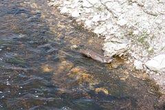 美国北部水獭河 库存图片