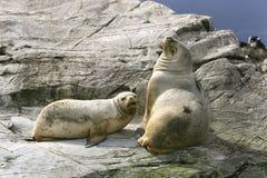 美国南arctocephalus极光的海狗 库存照片