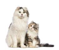 美国卷毛小猫, 3个月,坐与其妈咪 库存照片