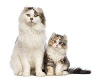 美国卷毛小猫, 3个月,坐与其妈咪 库存图片