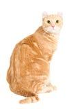 美国卷毛狡猾的小猫 库存图片