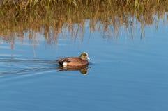 美国在海湾的野鸭游泳 库存图片