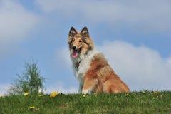 美国大牧羊犬 库存图片