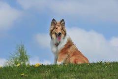 美国大牧羊犬 免版税库存照片
