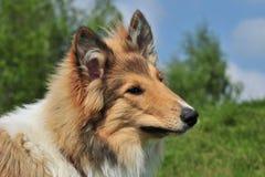 美国大牧羊犬 图库摄影