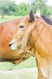 美国婆罗门母牛 免版税库存照片