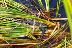 美国小鳄鱼在佛罗里达沼泽地 大沼泽地国家公园在美国 小的鳄鱼 免版税库存图片