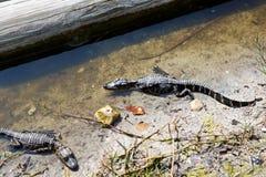 美国小鳄鱼在佛罗里达沼泽地 大沼泽地国家公园在美国 小的鳄鱼 库存照片