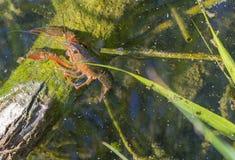 美国小龙虾 免版税库存图片
