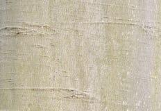 美国山毛榉吠声 库存照片
