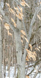 美国山毛榉树在冬天 免版税库存照片