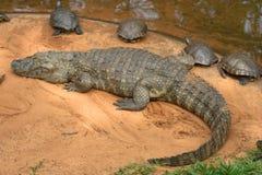 美国巴西南凯门鳄的鳄鱼 免版税图库摄影