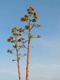 美国开花的芦荟的龙舌兰 库存照片