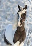 美国微型公马 免版税图库摄影