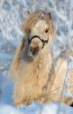 美国微型母马 免版税库存图片
