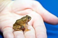 美国微小的蟾蜍 库存照片