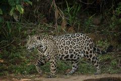 美国捷豹汽车在一个巴西密林的黑暗中 库存图片