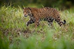 美国捷豹汽车在巴西pantanal自然栖所  免版税库存图片