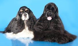 美国斗鸡家小狗西班牙猎狗 库存图片